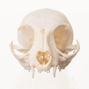 Real Domestic Cat Skull