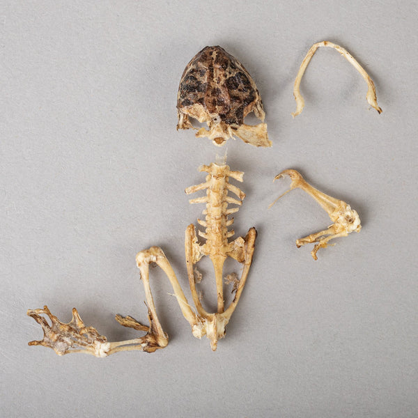 Real Frog Skeleton