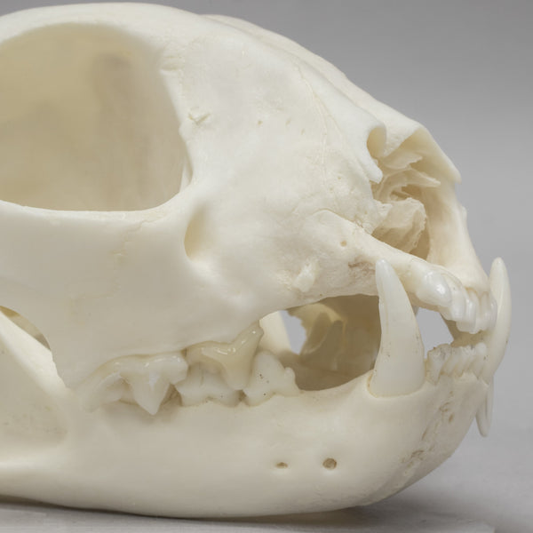Real Domestic Bobcat Skull (Pathology)