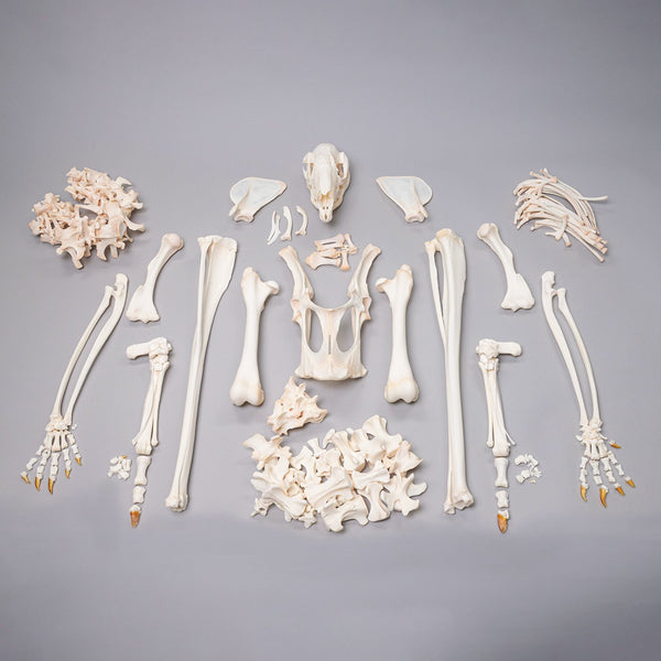 Real Kangaroo Skeleton