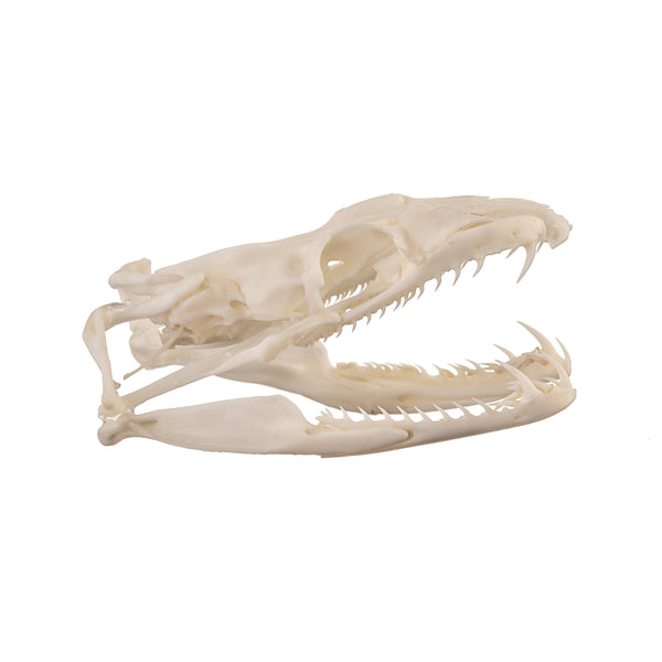 Real Pacific Ground Boa Skull
