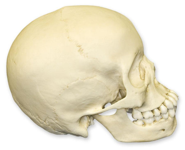 Replica 13-year-old Human Child Skull