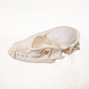 Real Gray Fox Skeleton