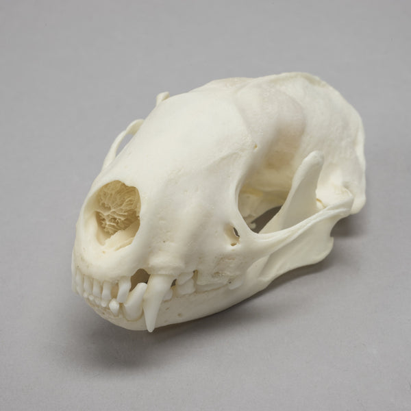 Real Striped Skunk Skull (Pathology)
