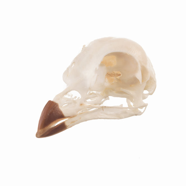 Real Crested Wood Partridge Skull