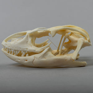 Real Savannah Monitor Skeleton