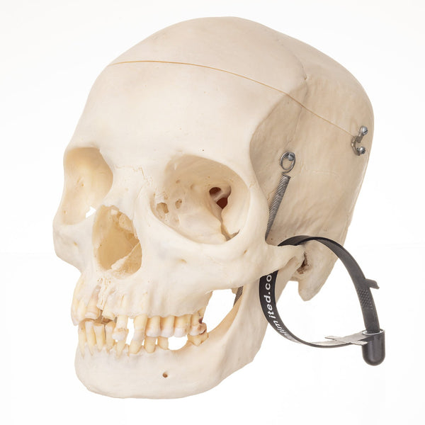 Real Human Skull with Carrying Case