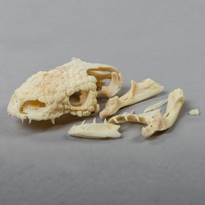 Real Mexican Beaded Lizard Skeleton