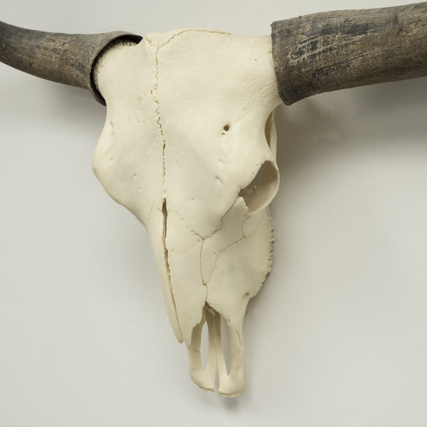 Real Domestic Yak Skull