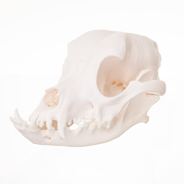 Real Domestic Dog (Boxer) Skull