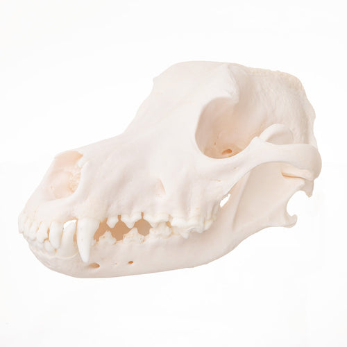 Real Domestic Dog (Alaskan Malamute) Skull