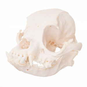 Real Domestic Dog (Boston Terrier) Skull