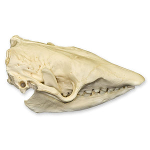 Real Six-banded Armadillo Skull