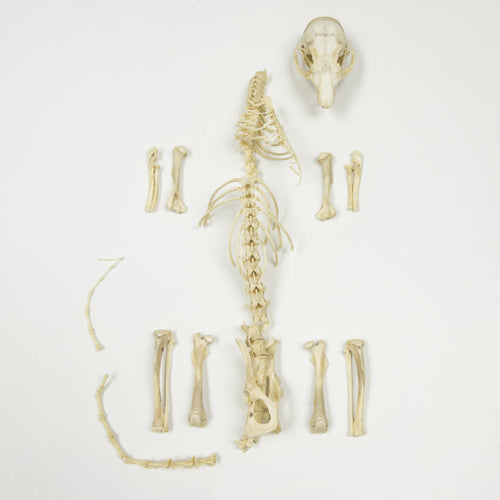 Real Rock Squirrel Partial Skeleton
