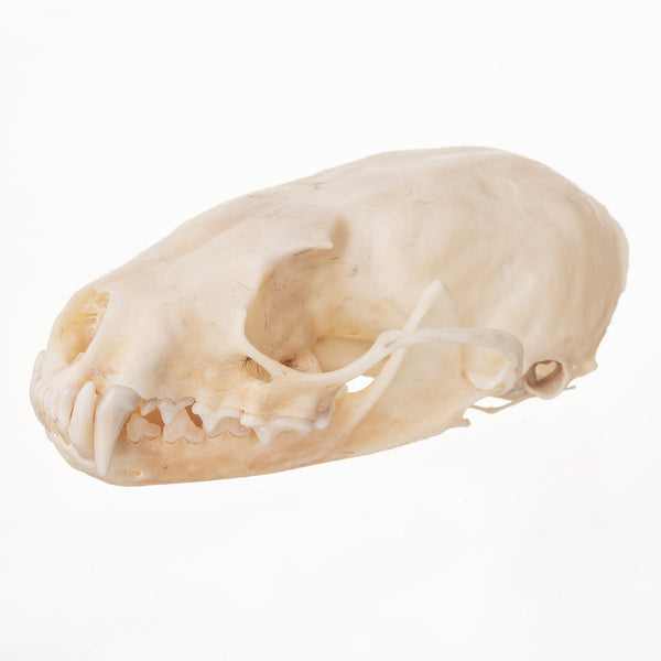 Real Marten Skeleton