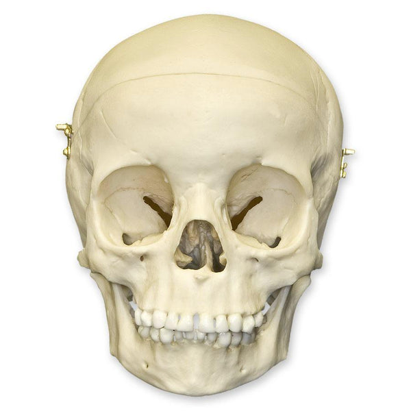 Replica 5-year-old Human Child Skull Calvarium Cut