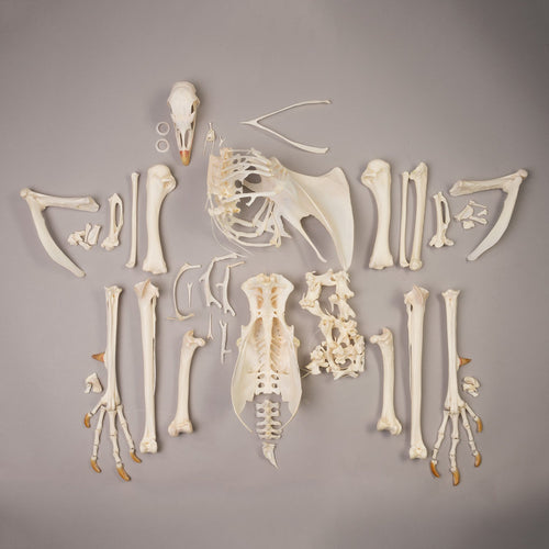Real Turkey Skeleton