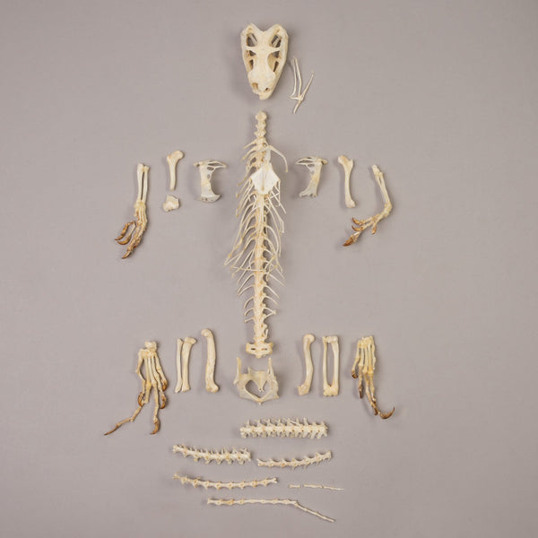 Real Black Spiny-tailed Iguana Skeleton