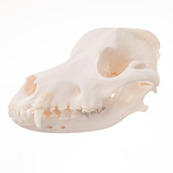 Real Domestic Dog (Great Pyrenees) Skull