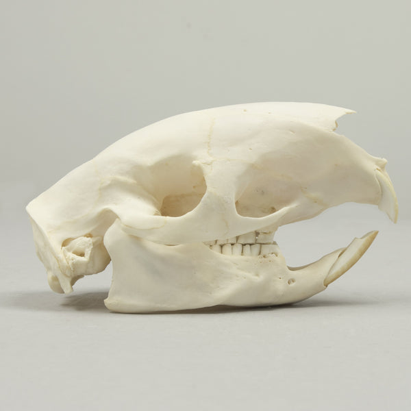 Real African Porcupine Skeleton
