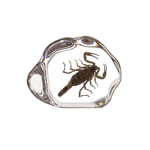 Real Brown Scorpion in Acrylic Paperweight - DCD