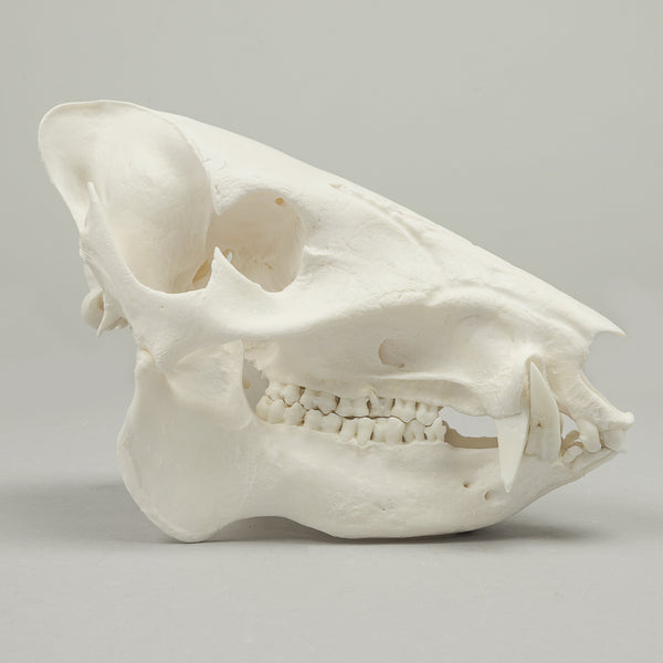 Real Peccary Skeleton - (Disarticulated)