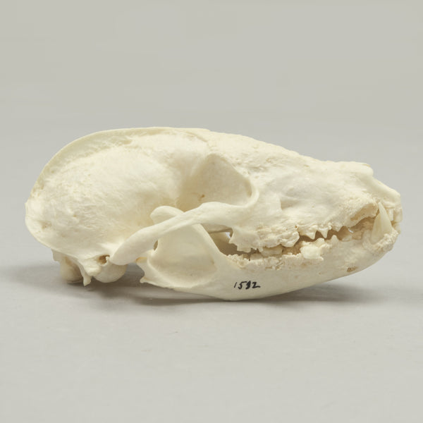 Real White-nosed Coati Skeleton