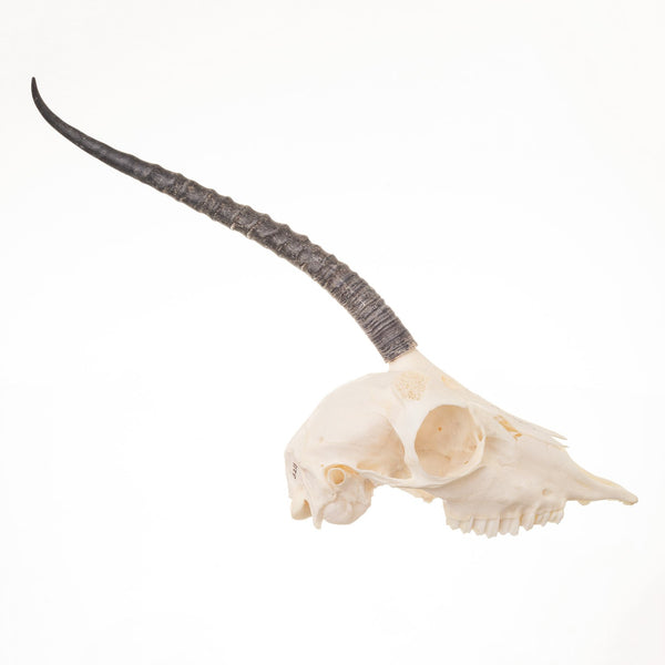 Real Dorcas Gazelle Skeleton