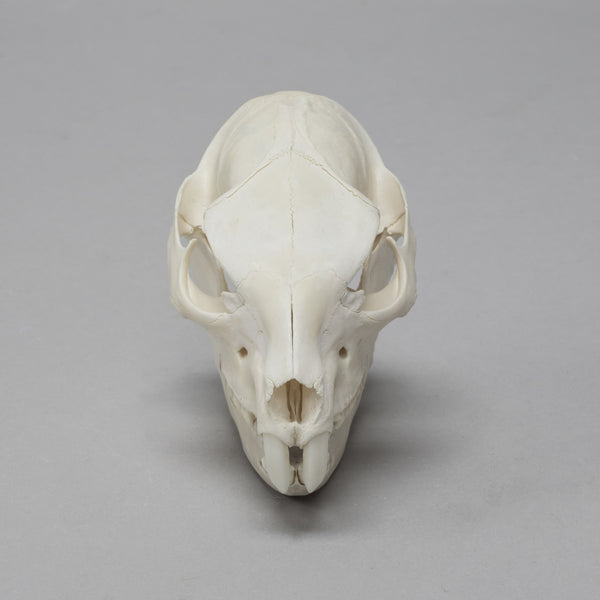 Real Rock Hyrax Skull (Young Specimen)