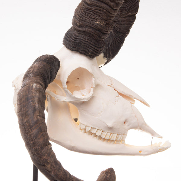Real Four-horned Jacob Sheep Skull