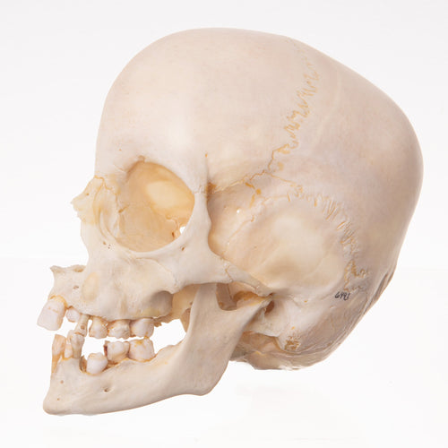 Real Human Child Skull-Saggital Half