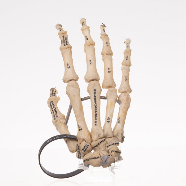 Real Human Right Hand-Articulated