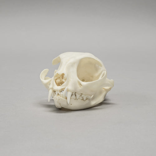 Real Domestic Cat Skull - (Missing Incisors)