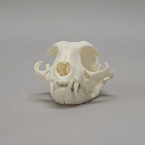 Real Domestic Cat Skull - (Missing Incisors and Molars)
