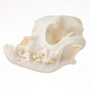 Replica Domestic Dog (Boxer) Skull