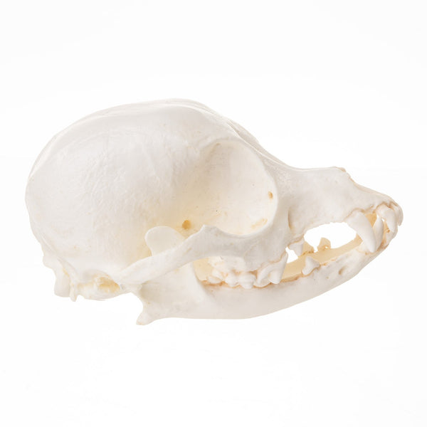 Replica Domestic Dog (Chihuahua) Skull