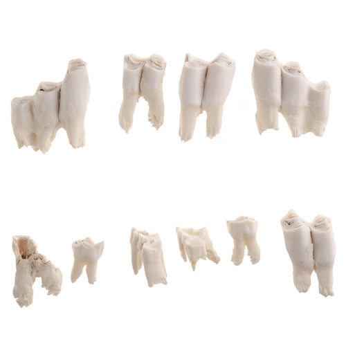 Real Musk Ox Teeth