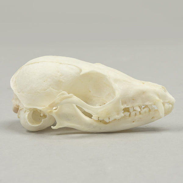 Real Fennec Fox Skeleton