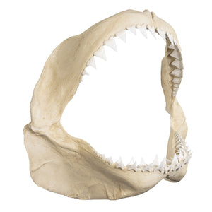 Replica Great White Shark Jaw