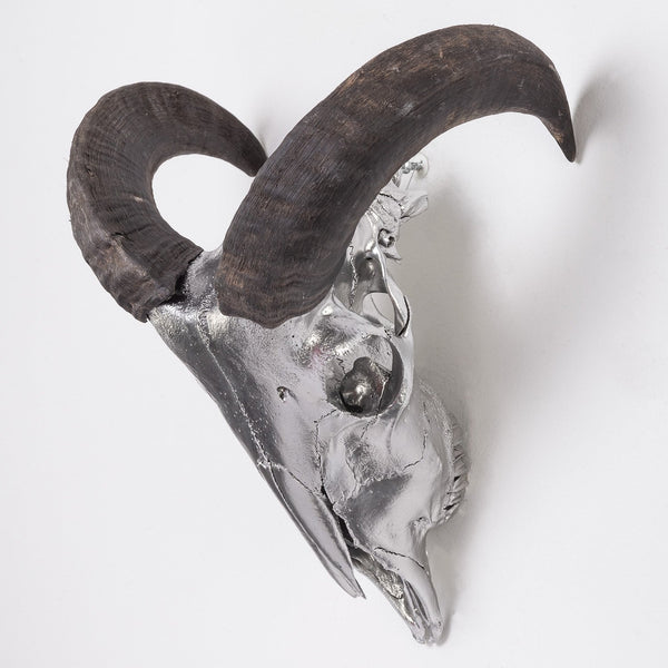 Real Domestic Ram Skull (Custom Silver Metallic Finish)