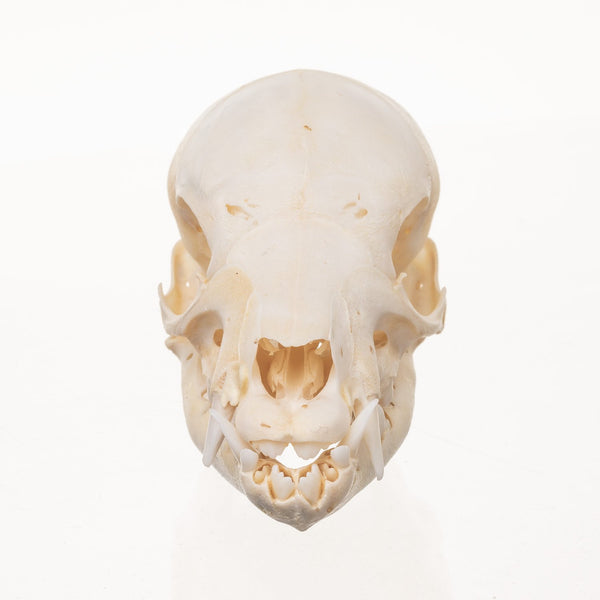 Real Domestic Pig Skull