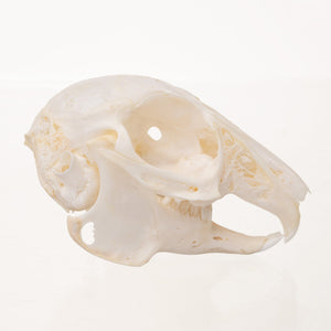Real Rabbit Skull