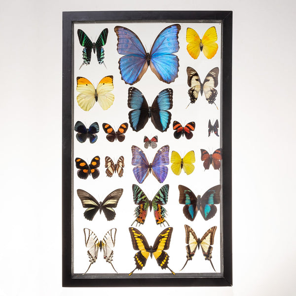 Real Taxidermy Butterflies in Black Frame - Set of 22