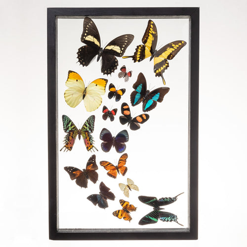 Real Insects of 16 Butterflies Taxidermy in an Entomology Gallery Style Framed Display (Sweeping Arrangement)