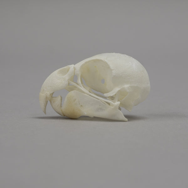 Real Blue Parrotlet Skull