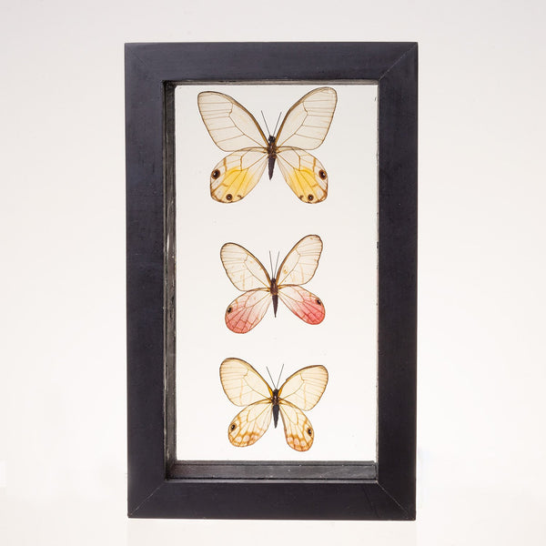Real Taxidermy Glasswing Butterflies in Black Frame - Set of 3
