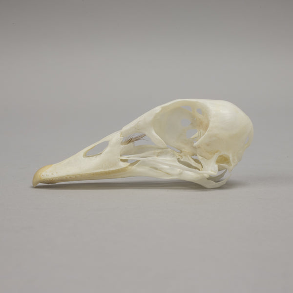 Real Mandarin Duck Skull
