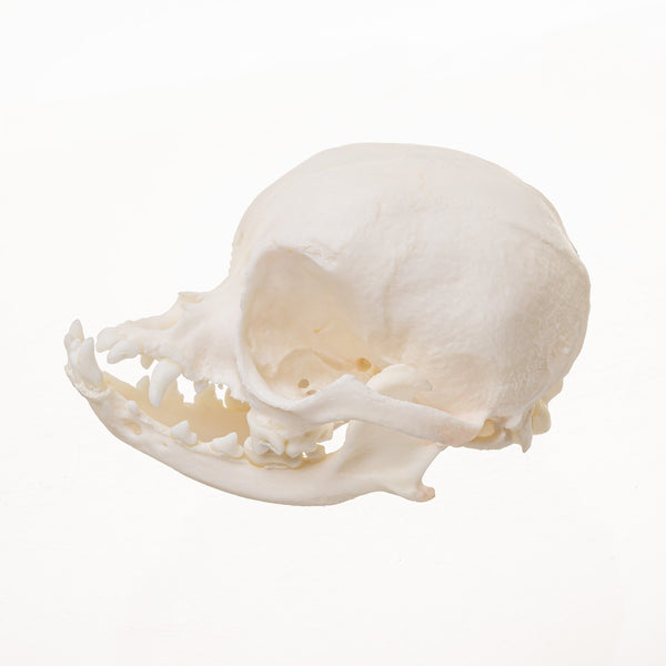 Real Domestic Dog (Chihuahua) Skull OK-15613