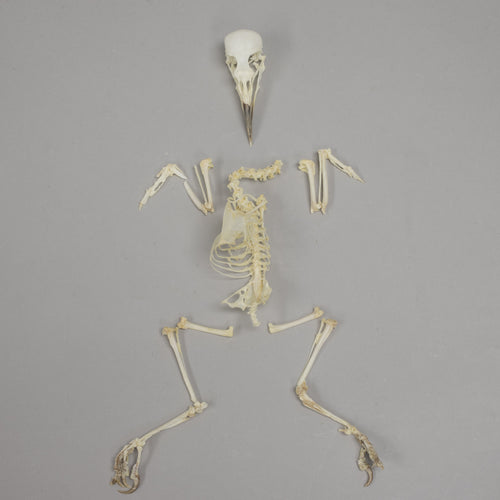 Real Venezuelan Troupial Skeleton