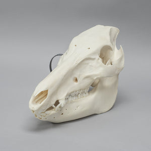Real Domestic Pig / Wild Boar Skull